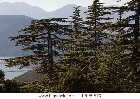 Lebanese cedar pinecone in the forest