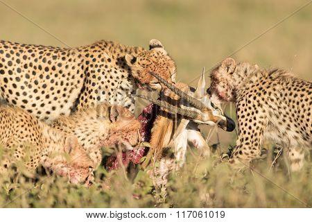 Female Cheetah With Her 3 Sub Adult Cubs, Feeding On A Thompson's Gazelle, Serengeti, Tanzania