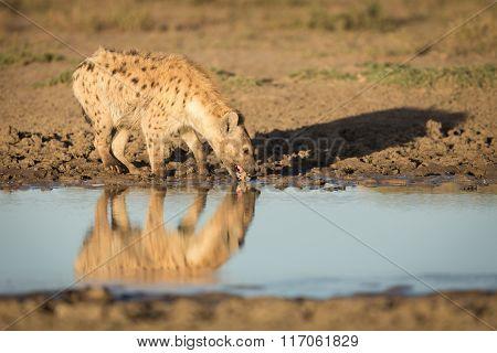 Spotted Hyena, Drinking Water In The Serengeti, Tanzania