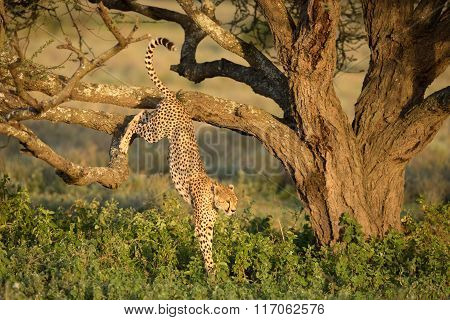Male Cheetah Jumping Out Of A Tree In The Serengeti, Tanzania