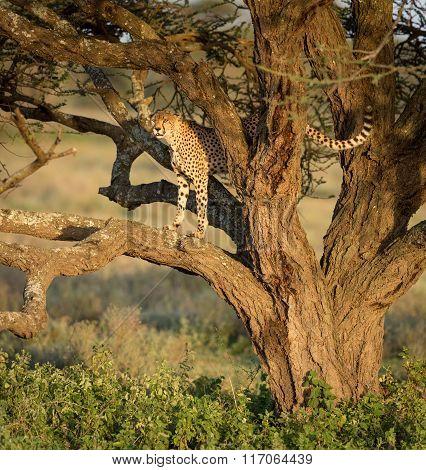 One Adult Male Cheetah In A Tree, Ndutu, Serengeti, Tanzania