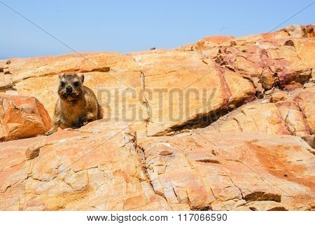 A Dassie Sitting On A Cliff Top