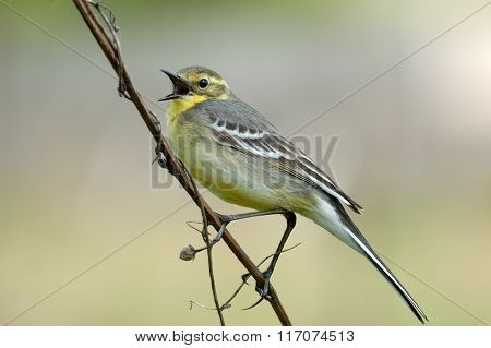 Crying Citrine Wagtail