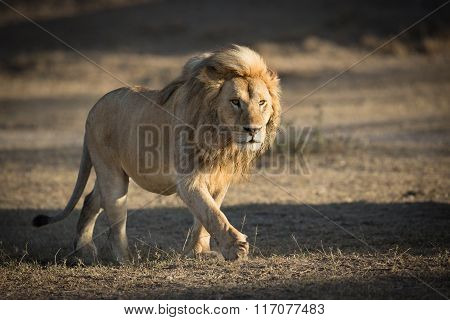 Male Lion Patrolling Territory In Ndutu, Serengeti, Tanzania