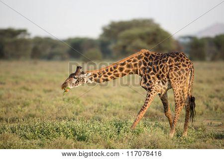 Male Masai Giraffe Eating In The Serengeti, Tanzania