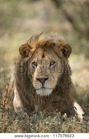 Male African Lion Portrait, Ndutu, Serengeti, Tanzania