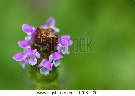 Soft focus of Self heal plant, known as Heal All and its purple flower (Prunella vulgaris)