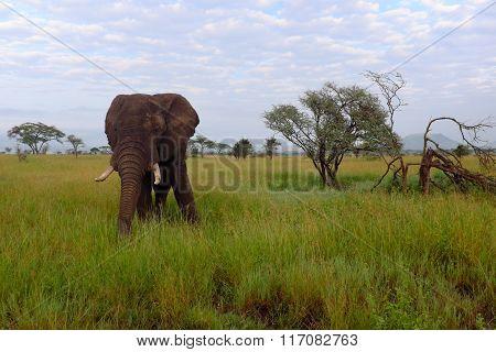 Elephant While Safari In The Serengeti, Tanzania, Africa