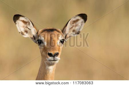 Female Impala, Serengeti, Tanzania