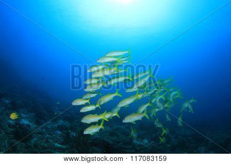Fish on coral reef: Yellowfin Goatfish