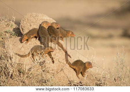 Business Of Dwarf Mongooses, Serengeti, Tanzania