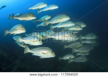 Fish school underwater sea ocean: gold-spotted Sweetlips