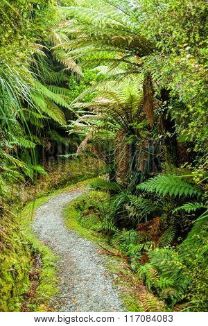 Pathway through dense temperate rainforest with fern trees in New Zealand