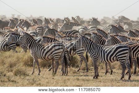 Herd Of Plains Zebra In The Serengeti, Tanzania