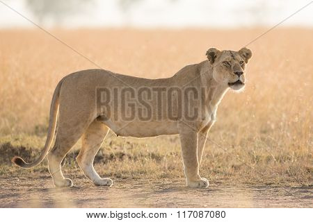 Lioness In The Early Morning In The Serengeti, Tanzania