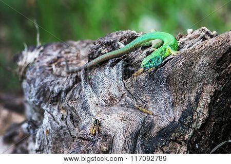 Lizard Hunts Insect