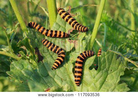 Group of caterpillars