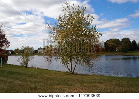 Gray Birch Tree