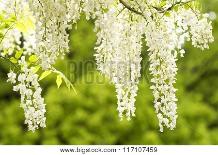 White wisteria flowers