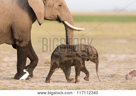 Baby African Elephant With Mother In Amboseli, Kenya