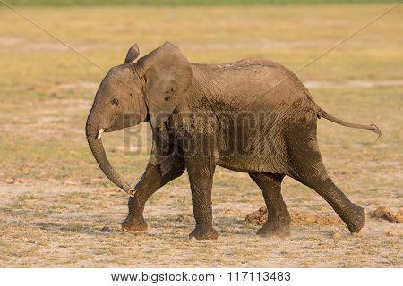 Sub Adult African Elephant Running In Amboseli, Kenya