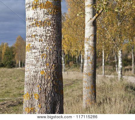 Closeup, macro on trunks of aspen trees.