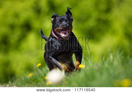 Rottweiler Dog Outdoors In Nature