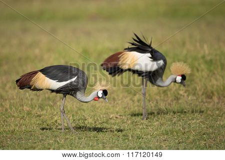 Two Grey Crowned Cranes In Amboseli, Kenya