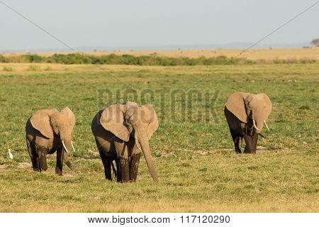 Three African Elephants Leaving The Marsh Land Of Amboseli In Kenya