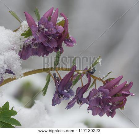 Birthwort Flowers  (corydalis Solida) Close-up