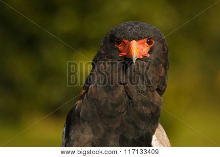 Acrobat eagle