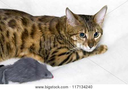 Leopard cat with  mouse