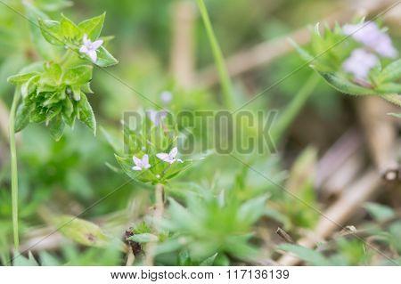 Field madder (Sherardia arvensis)
