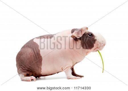 Curious Bald Guinea Pig Eating Grass