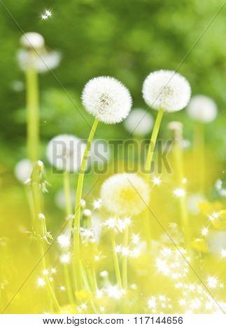 Dandelions, Summer Flowers