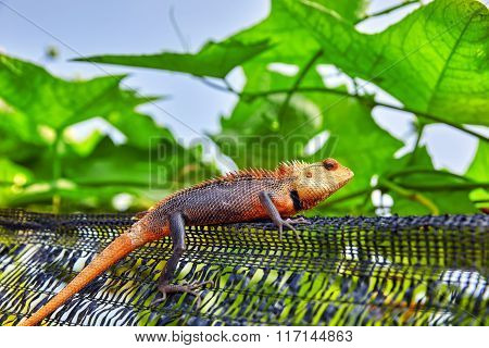 Cute Lizard In The Bushes Of A Tropical Island, Maldives.