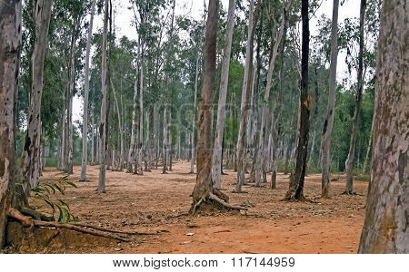 Sal Plantation Forest
