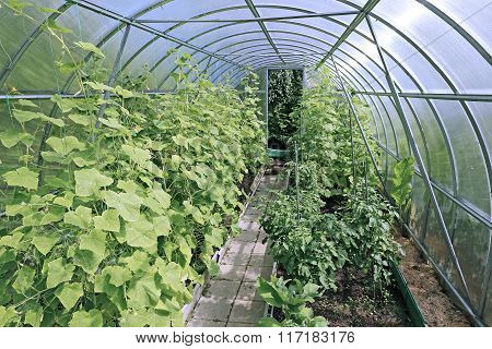 Cucumber Plants In A Greenhouse