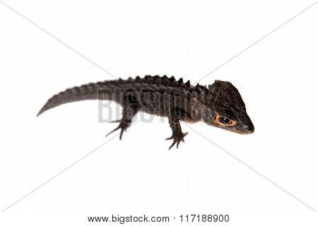 Red-eyed crocodile skinks, tribolonotus gracilis, on white