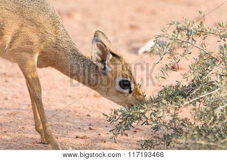 Damara Dik-dik Eating Leaves