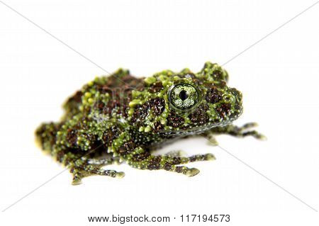 Vietnamese Mossy Frogling isolated on white