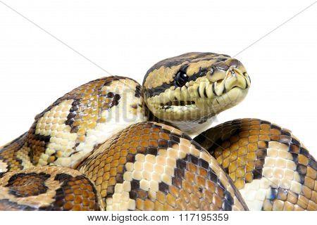 Jungle carpet python, Morelia spilota variegata on white