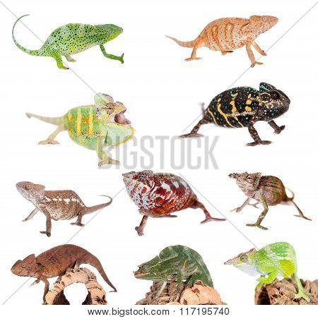 Chameleon set on white