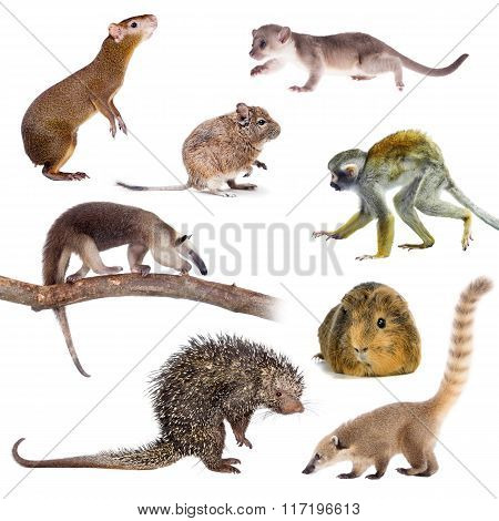 Mammals of South America on white