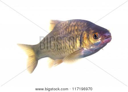 Barbodes Gonionotus Or Silver Barb Fish