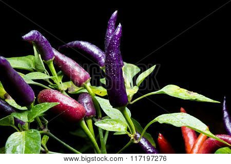 Ripening chili peppers. They are currently purple, but will eventually turn red and be very hot!