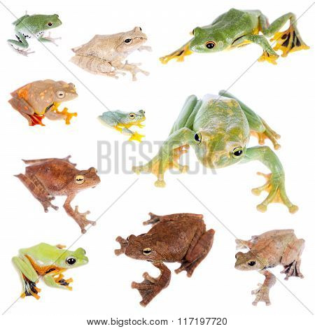 Flying tree frogs set on white