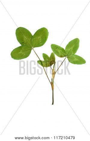 Pressed And Dried Leaf Trifolium Pretense Or Clover.