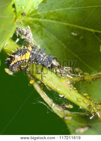 Natural Pest Control. Larva Ladybug And Aphids
