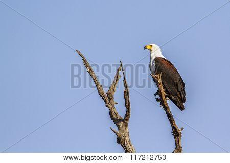 African Fish Eagle In Kruger National Park